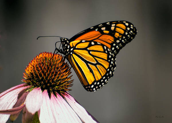 Wall Art - Photograph - Monarch Butterfly by Bob Orsillo