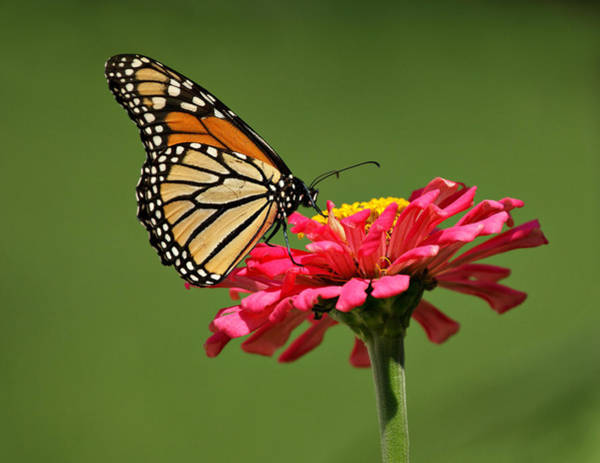 Photograph - Monarch Butterfly by Sandy Keeton