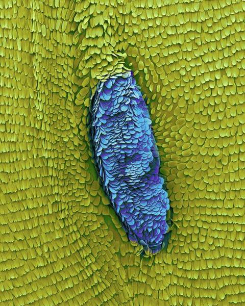 Photograph - Monarch Butterfly Wing by Dennis Kunkel Microscopy/science Photo Library
