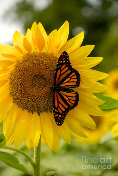Photograph - Monarch On A Sunflower by Mark Dodd