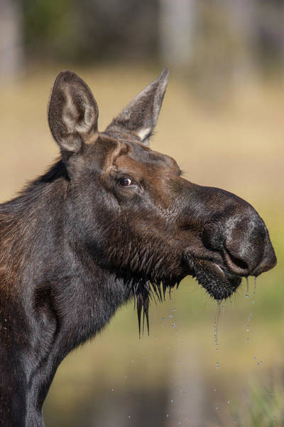 Alces Alces Photograph - Moose In Watering Hole by Tom Norring