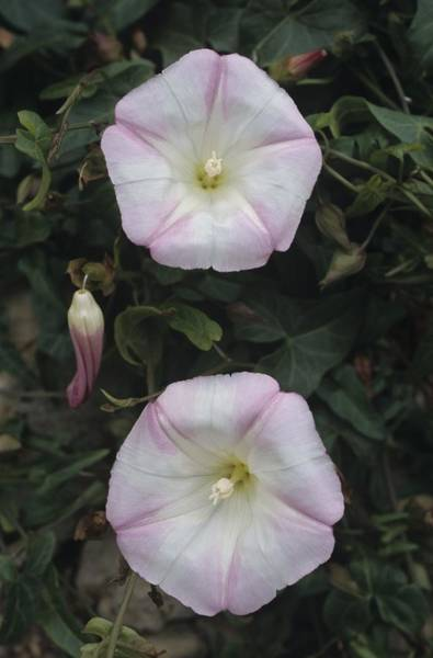 Photograph - Morning Glories by Don Kreuter