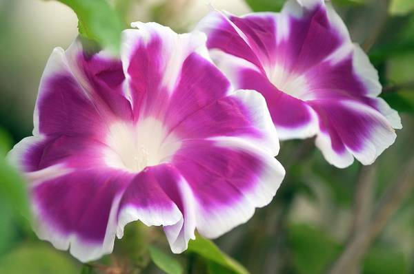 Morning Glory Photograph - Morning Glory (ipomoea Purpurea) by Maria Mosolova/science Photo Library