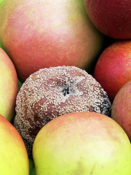 Saying Photograph - Mouldy Apple by Dr Jeremy Burgess/science Photo Library