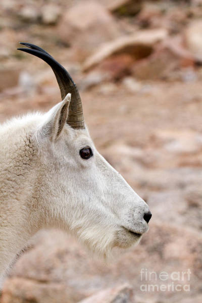 Photograph - Mountain Goat Portrait On Mount Evans by Fred Stearns