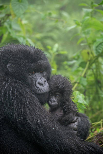 Rwanda Photograph - Mountain Gorilla, Gorilla Beringei by Tom Murphy