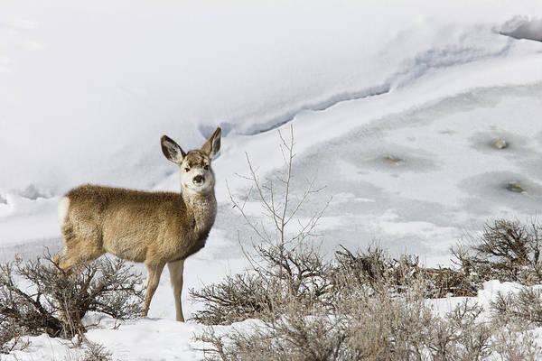 Ruminant Photograph - Mule Deer In Grand Teton National Park by Tom Norring