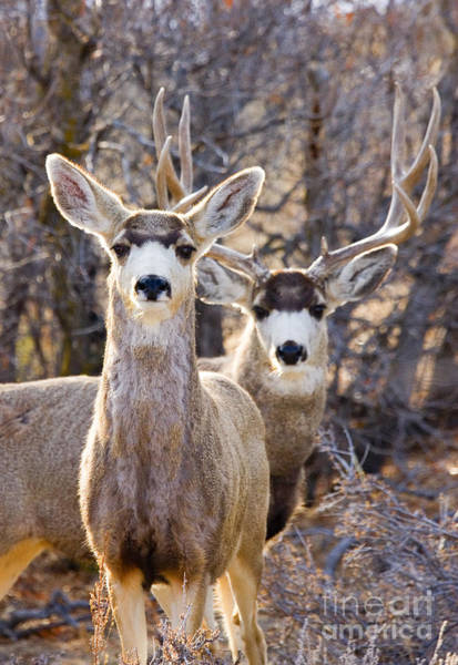 Photograph - Mule Deer by Steve Krull