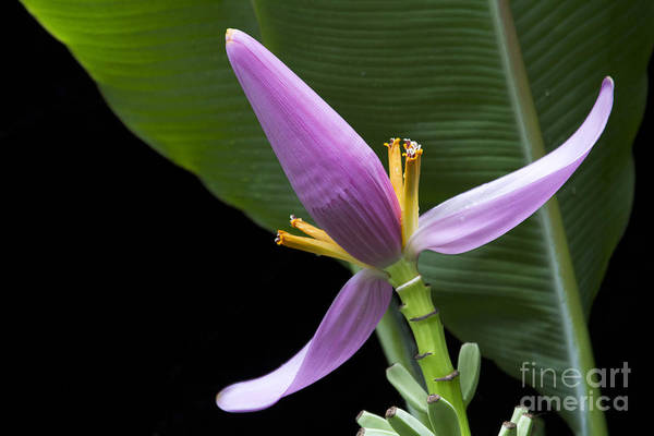 Photograph - Musa Ornata - Pink Ornamental Banana Flower Hawaii by Sharon Mau