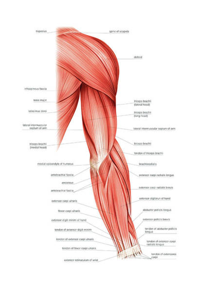 Muscles Of Right Upper Arm Photograph By Asklepios Medical