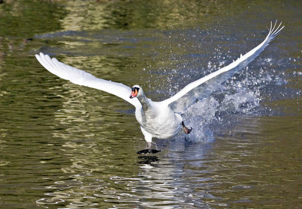 Mute Swan Photograph - Mute Swan by John Devries/science Photo Library