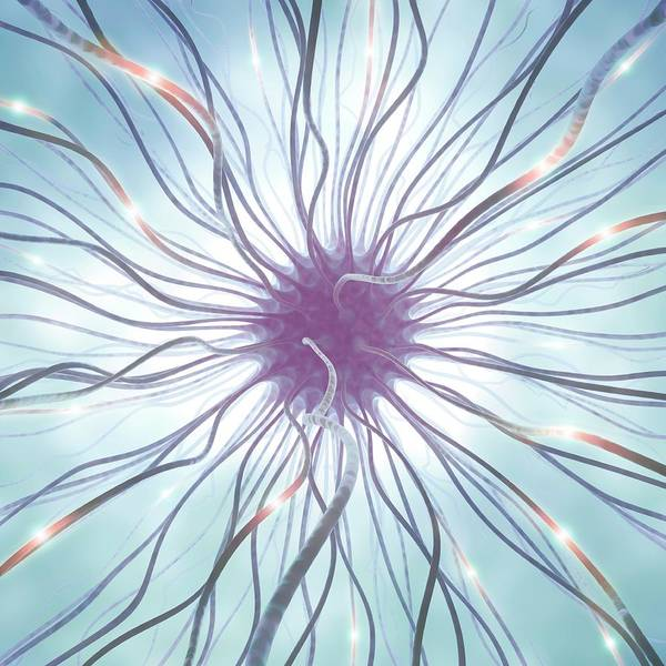 Nerve Cell Photograph - Nerve Cell by Ktsdesign/science Photo Library