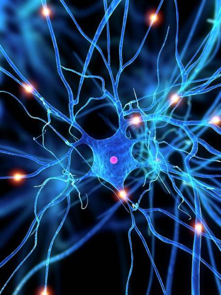 Computer Generated Wall Art - Photograph - Nerve Cell by Sciepro