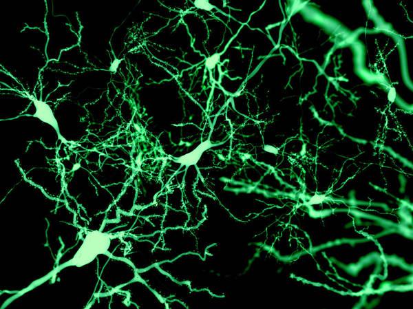 Wall Art - Photograph - Nerve Cells, Illustration by Juan Gaertner