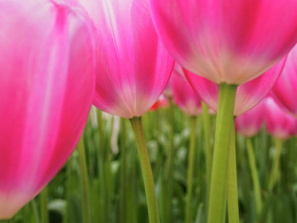 Keukenhof Photograph - Netherlands, Macro Of Colorful Tulip by Terry Eggers