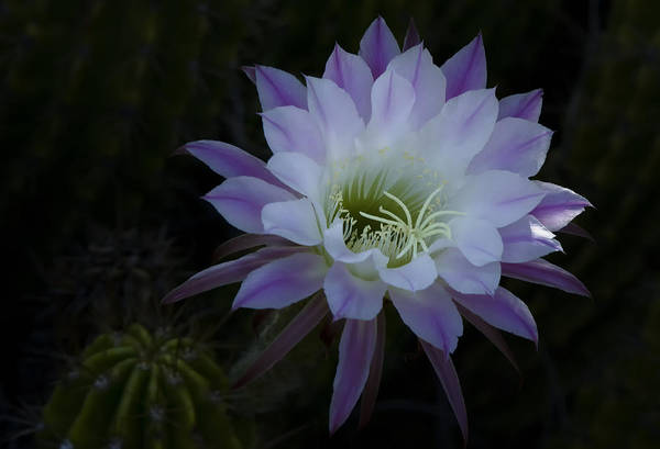 Night Blooming Cactus  Art Print