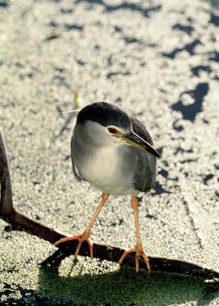 Night-heron Photograph - Night Heron by Tony Camacho/science Photo Library