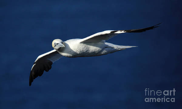 Photograph - Northern Gannet In Flight by Maria Gaellman