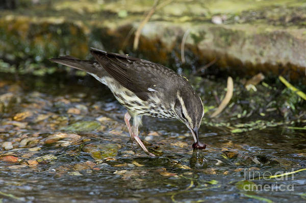 Parulidae Photograph - Northern Waterthrush by Anthony Mercieca