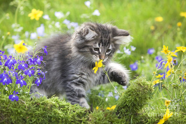 Photograph - Norwegian Forest Kitten by Jean-Michel Labat
