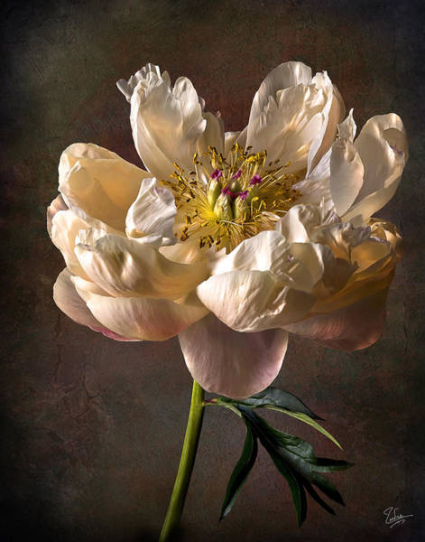 Photograph - Open Peony by Endre Balogh