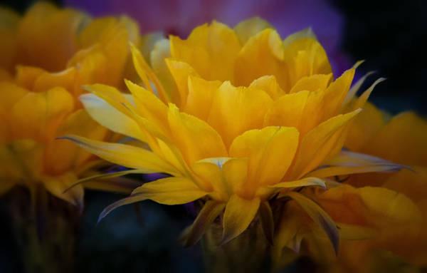 Orange Cactus Flowers  Art Print