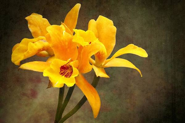 Photograph - Orange Spotted Lip Cattleya Orchid by Rudy Umans