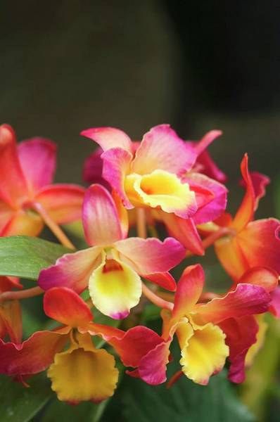 Wall Art - Photograph - Orchid (cattleya Sp.) by Maria Mosolova/science Photo Library