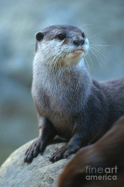 Aonyx Photograph - Oriental Small-clawed Otter by Art Wolfe