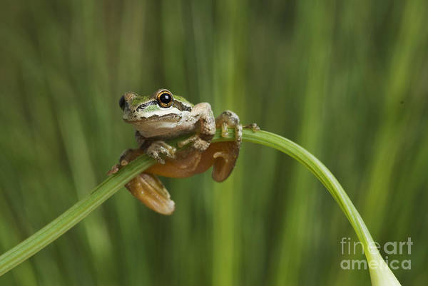 Photograph - Pacific Treefrog On California Poppy by Dan Suzio