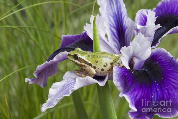 Photograph - Pacific Treefrog On Iris by Dan Suzio