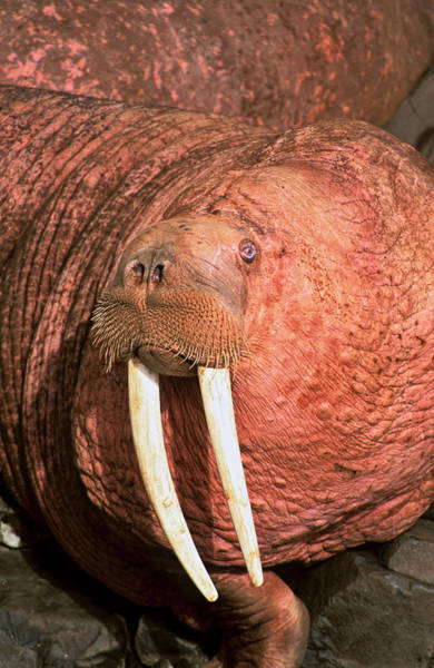 Bulls Island Photograph - Pacific Walrus (odobenus Rosmarus by Martin Zwick