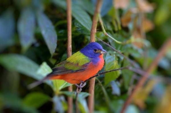 Photograph - Painted Bunting by Bill Hosford