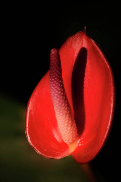 Anthurium Photograph - Painter's Palette (anthurium Andraeanum) by Maria Mosolova/science Photo Library