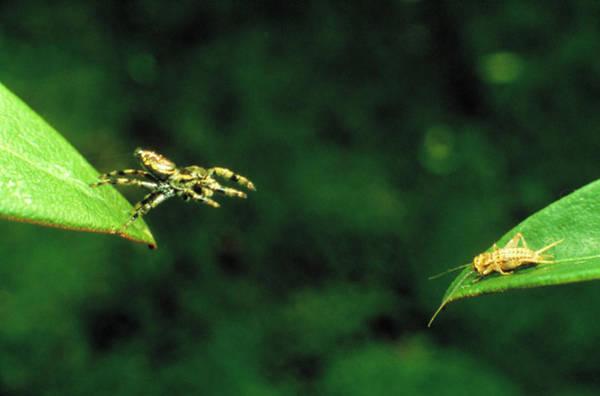 Panamanian Jumping Spider Eris Aurantia Art Print
