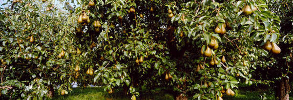 Fruit Tree Photograph - Pear Trees In An Orchard, Hood River by Panoramic Images