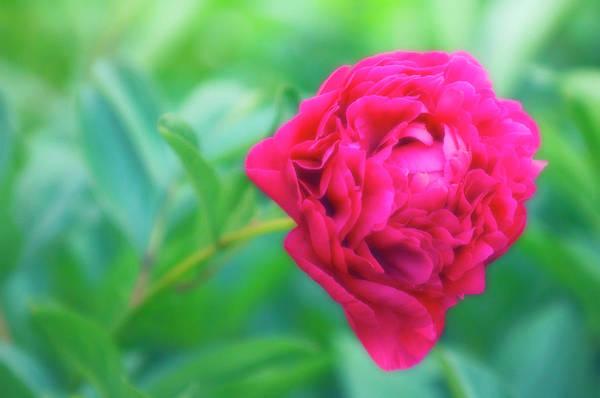 Perennial Photograph - Peony (paeonia Lactiflora) by Maria Mosolova/science Photo Library