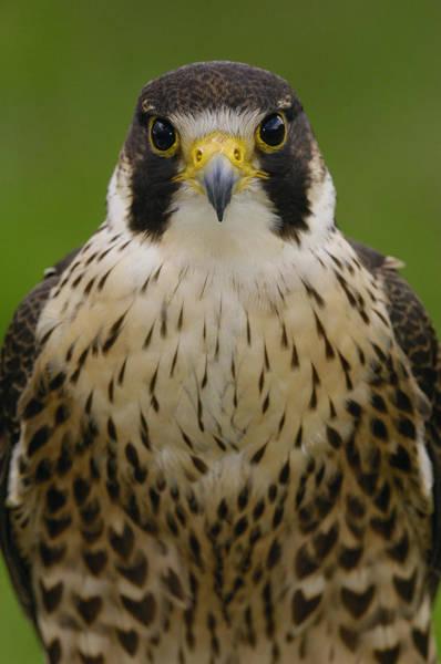 Photograph - Peregrine Falcon Portrait Ecuador by Pete Oxford