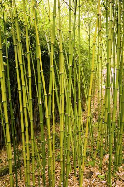 Bamboo Photograph - Phyllostachys Bambusoides by Adrian Thomas/science Photo Library