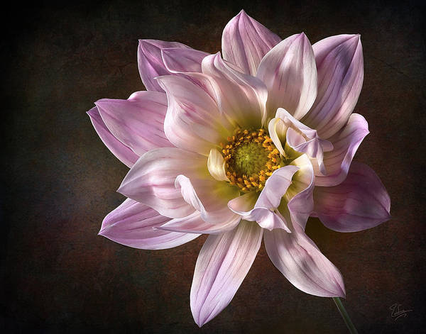 Photograph - Pink Dahlia 2 by Endre Balogh