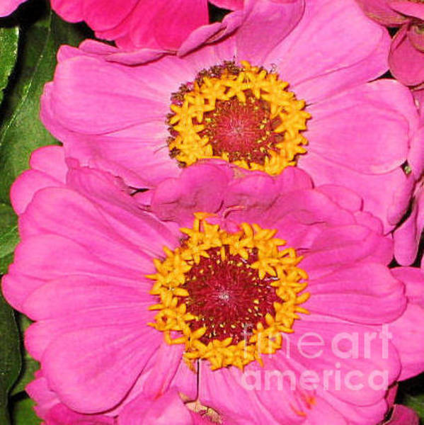 Photograph - Pink Flowers by Oksana Semenchenko