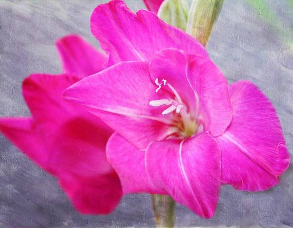 Wall Art - Photograph - Pink Gladiola by Cathie Tyler