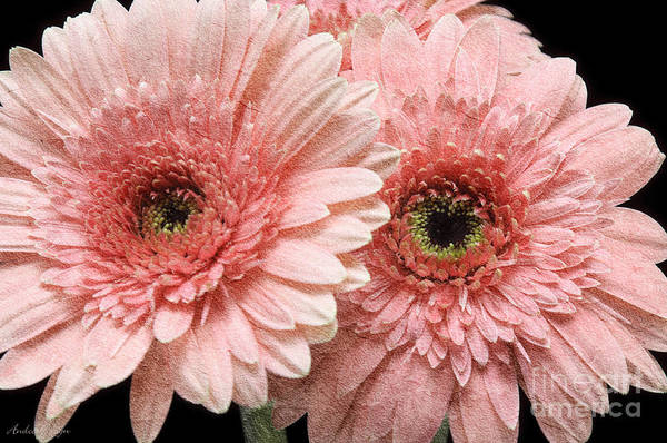 Photograph - 2 Pink Painterly Gerber Daisies by Andee Design