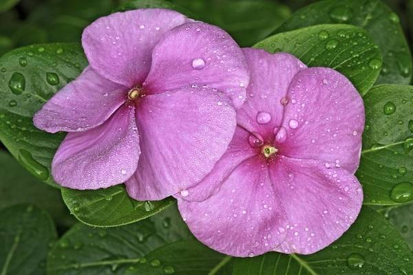Wall Art - Photograph - Pink Periwinkle (catharanthus Roseus) by Dr. Nick Kurzenko/science Photo Library