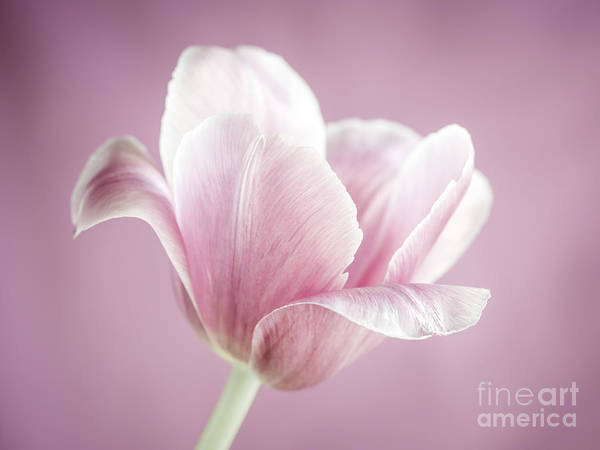 Wall Art - Photograph - Pink Tulip by Elena Elisseeva