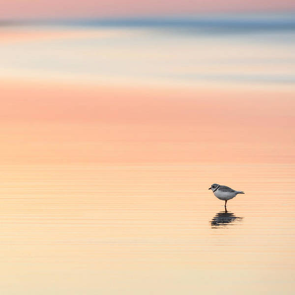 Photograph - Piping Plover Square by Bill Wakeley