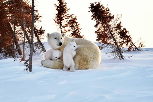Canadian Fauna Photograph - Polar Bear Mother And Cubs by Dr P. Marazzi