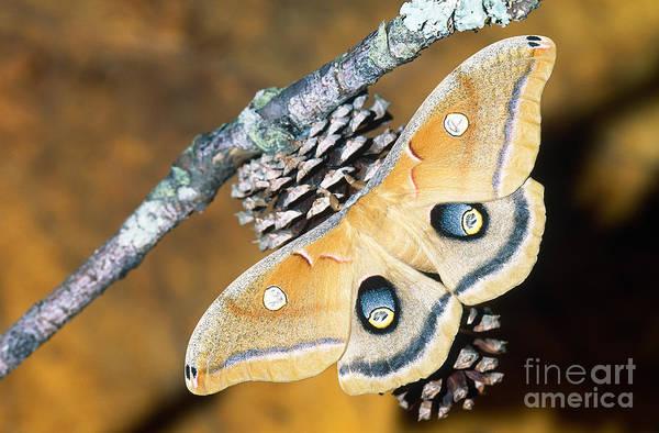 Pterygota Wall Art - Photograph - Polyphemus Moth by Millard H. Sharp