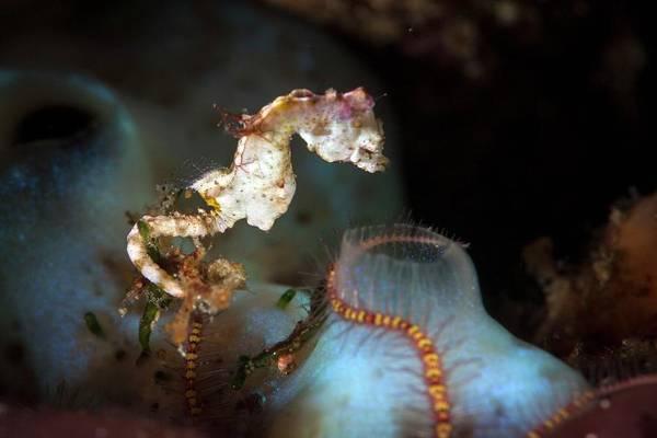 Seahorse Photograph - Pontohi Pygmy Seahorse by Ethan Daniels