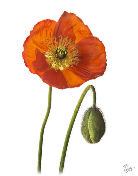 Photograph - Poppy by Endre Balogh